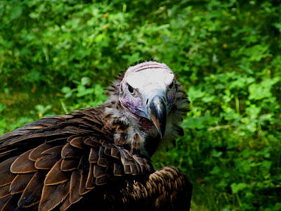 Photograph - A Happy Vulture by Kimmary MacLean