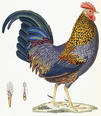 Animals Drawing - A Hen by French School