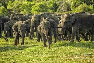 Sean - A herd of Asian elephants by Patricia Hofmeester