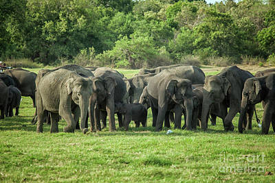 Photograph - A Herd Of Elephants With Young by Patricia Hofmeester