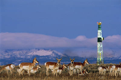 Man And Nature Photograph - A Herd Of Pronghorns Graze by Joel Sartore