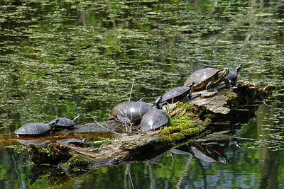 Photograph - A Herd Of Turtles by Bill Jordan