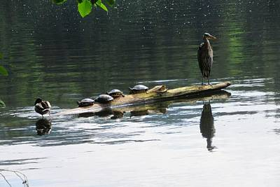 Photograph - A Heron, Four Turtles, And A Duck by Karen Molenaar Terrell