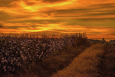 Photograph - A Hill Of Cotton  by John Harding