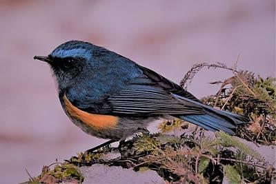 Western Art - A Himalayan Bird by Kim Bemis