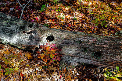 Photograph - A Hole In A Log by Paul Mashburn