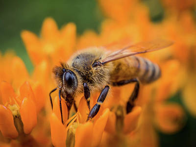 Photograph - A Honey Bee  by Lilia D