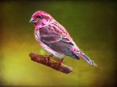 Digital Art - A Purple Finch Perching On A Branch. by Rusty R Smith
