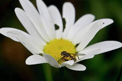 Photograph - A Hoverfly And A Daisy by Elena Perelman