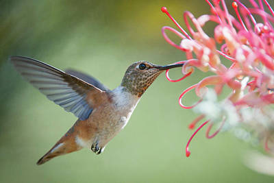 Photograph - A Hummingbird  by Catherine Lau