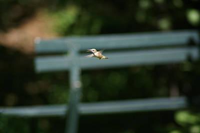 Photograph - A Hummingbird In Flight by Ben Upham III
