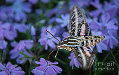 Photograph - A Hummingbird Moth by Robert Bales