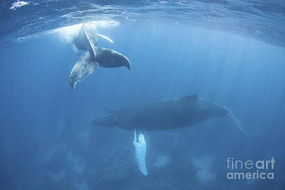 Animals Photos - A Humpback Whale And Her Calf by Ethan Daniels