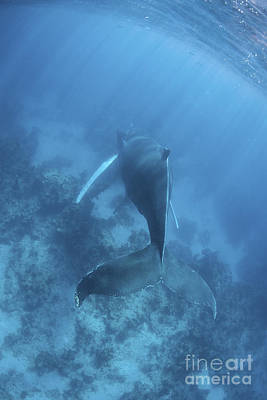 Animals Photos - A Humpback Whale In The Caribbean Sea by Ethan Daniels