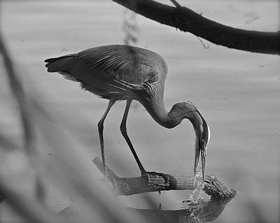 Photograph - A Hungry Heron by Carol Bradley