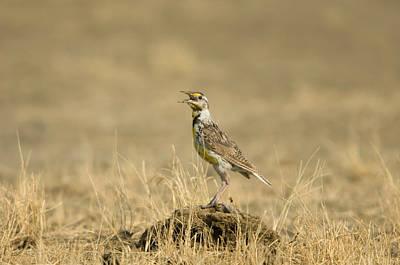 Meadowlark Photograph - A Juvenile Western Meadowlark by Joel Sartore