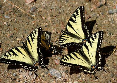 Photograph - A Kaleidoscope Of Swallowtails by David Pickett