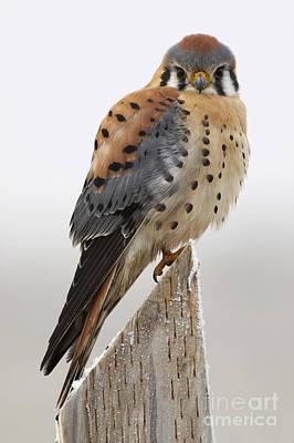 Falcon Photograph - A Kestrel's Perch by John Blumenkamp