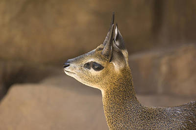 Henry Doorly Zoo Photograph - A Klipspringer At  The Henry Doorly Zoo by Joel Sartore