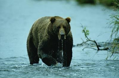 Kodiak Photograph - A Kodiak Brown Bear Ursus Middendorfii by George F. Mobley