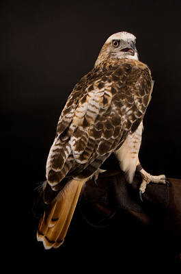 Red Tail Hawks Photograph - A Kriders, Or Light Phased, Red-tailed by Joel Sartore