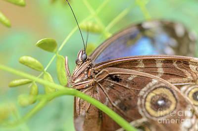 Photograph - Blue Morpho Butterfly by Tamara Becker