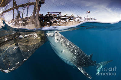 Animals Photos - A Large Whale Shark Siphoning Water by Mathieu Meur