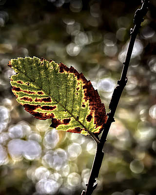 Photograph - A Leaf by Philip A Swiderski Jr