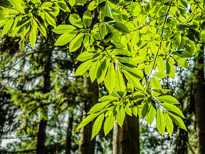 Photograph - A Leafy Glow by Nick Bywater