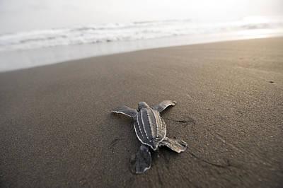 A Leatherback Sea Turtle Hatchling Art Print by Joel Sartore
