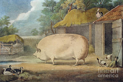 Pig Drawing - A Leicester Sow by William Henry Davis