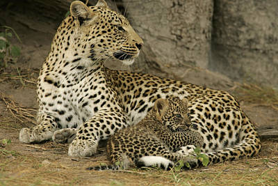 A Leopard Cub With Her Mother Art Print by Beverly Joubert