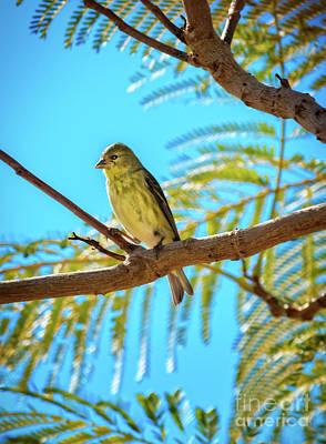 Photograph - A Lesser Goldfinch by Robert Bales