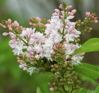 Photograph - A Lilac Bouquet by Garvin Hunter