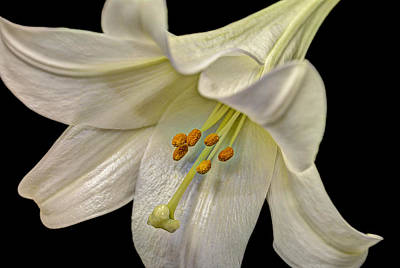 A Lily For Easter Art Print