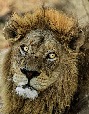 Photograph - A Lion Headshot by Kay Brewer