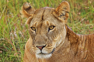Photograph - A Lioness In Kenya by Mitchell R Grosky
