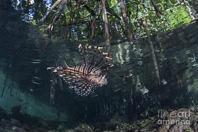 A Lionfish Swims Along The Edge Art Print by Ethan Daniels