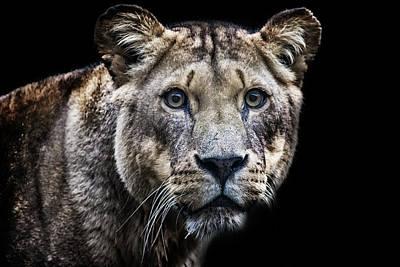 A Lions Stare Art Print by Martin Newman