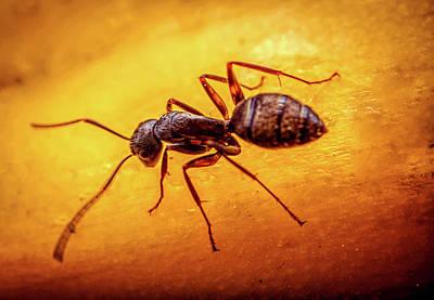 Photograph - A Little Ant by Lilia D