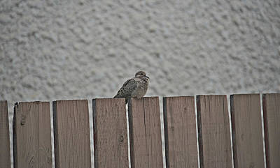 Photograph - A Little Bird On A Fence by Cendrine Marrouat