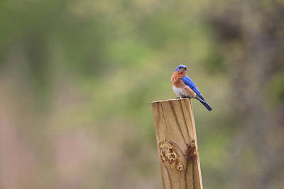 Photograph - A Little Bluebird by Living Color Photography Lorraine Lynch