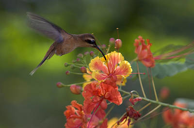 Photograph - A Little Hermit Hummingbird Drinking by Roy Toft