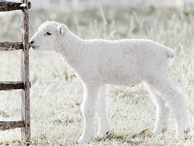 Mammals Royalty-Free and Rights-Managed Images - A Little Lamb by Rachel Morrison