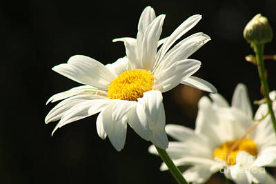 A Little Less Than Perfect Sunshine Daisy  Art Print by Cathy  Beharriell