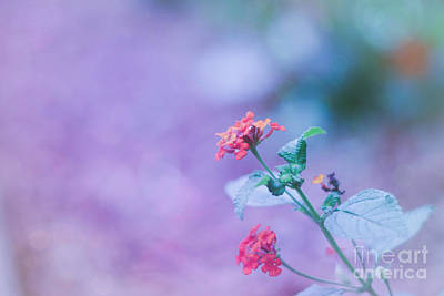 Photograph - A Little Softness, A Little Color - Macro Flowers by Adrian DeLeon