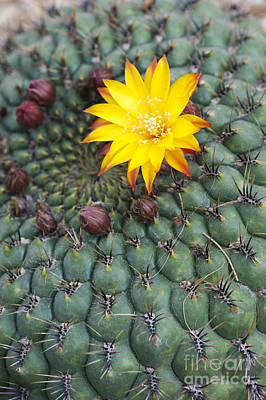 Cactus Flowers Photograph - A Little Yellow Flower by Tim Gainey