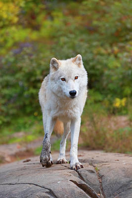 Photograph - A Lone Arctic Wolf by Josef Pittner