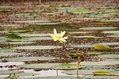 Photograph - A Lone Water Lily by Sheila Brown