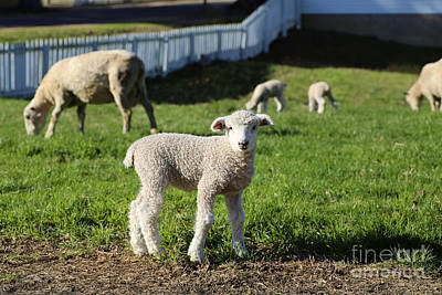 Photograph - A Longwool Lamb by Lara Morrison
